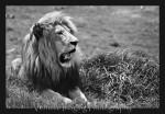 rhino lion park00026